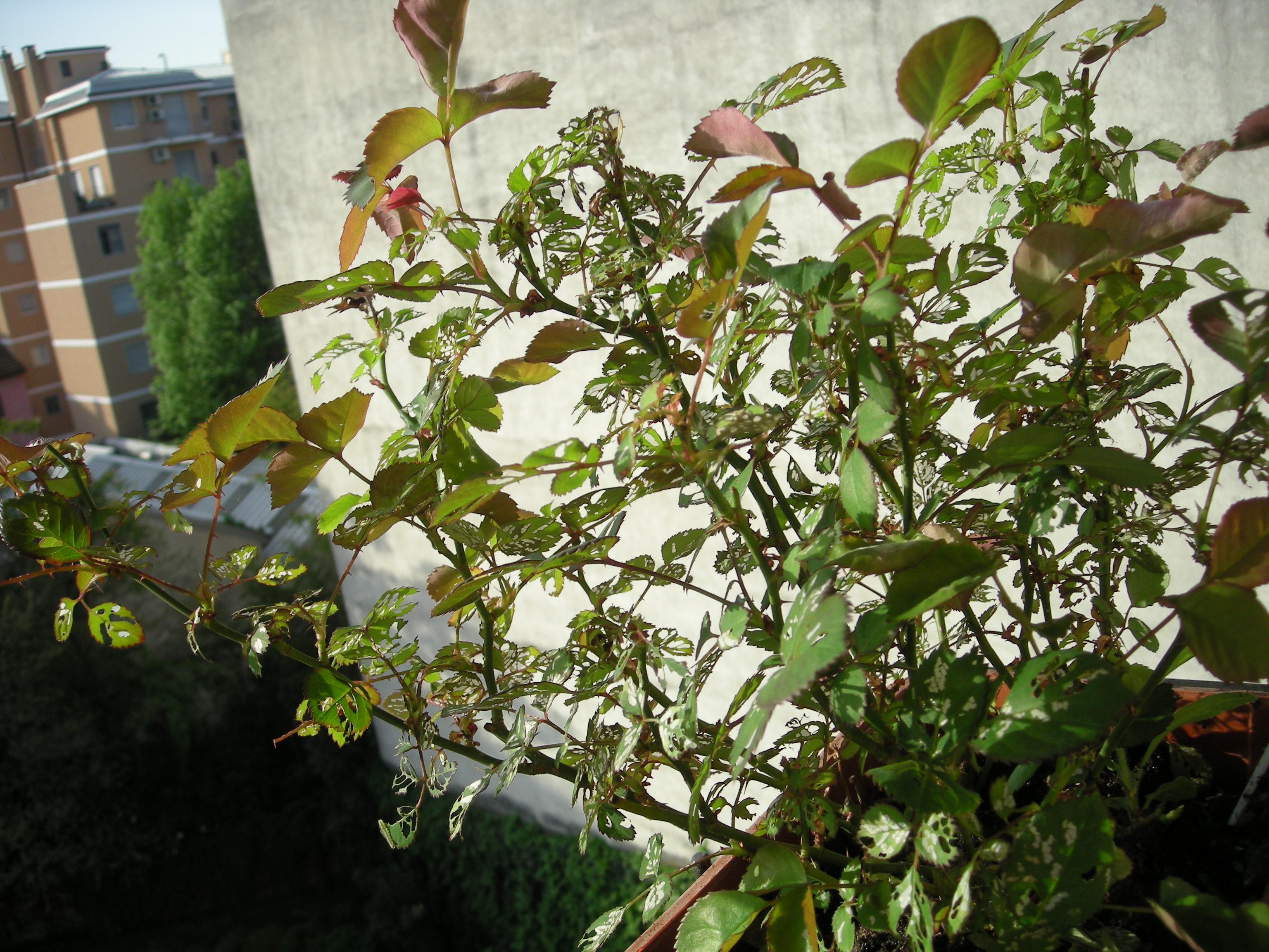 Malattia delle rose foglie mangiate ecospiragli di anna for Malattie delle rose