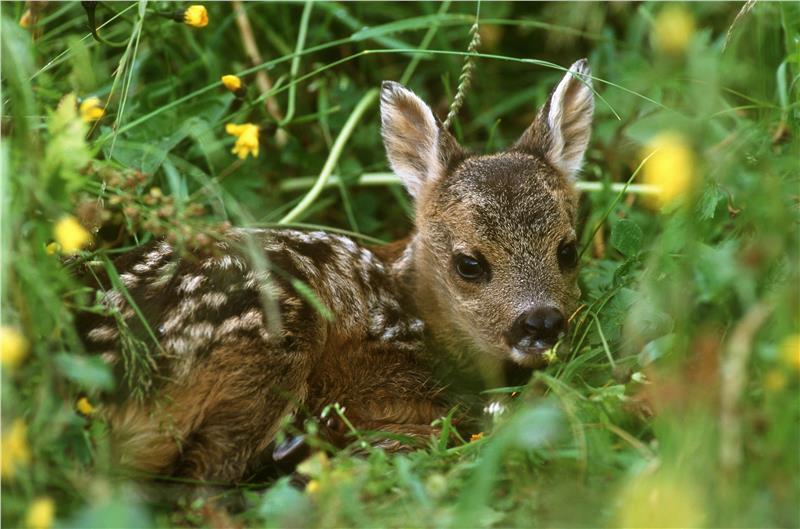 Animali selvatici non tocchiamo i piccoli di capriolo for Capriolo animale