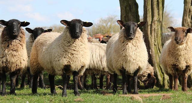 sheep-1306621_640