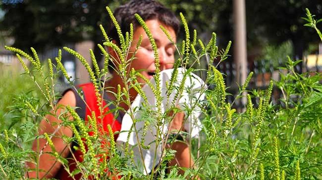 Allergia pollini  attenzione all ambrosia – EcoSpiragli di Anna Simone e838e1e37c86